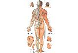 男性人体经络穴位图背面