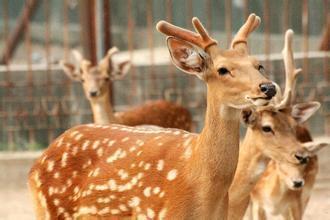 1对鹿角,制成3种名贵中药,都能温肾助阳,为啥有很多人不能吃