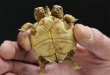 斯洛伐克发现双头五腿龟