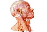 头颈部解剖示意图