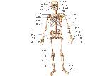 人体全身骨骼图