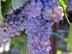 产妇月子里如何吃葡萄
