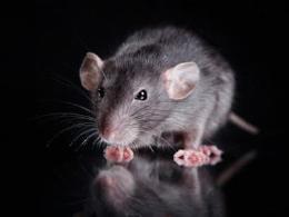 美国研究显示:一种哮喘药可逆转实验鼠老年痴呆
