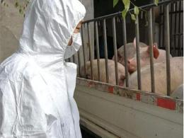 福建省莆田排查出非洲猪瘟疫情 生猪死亡85头